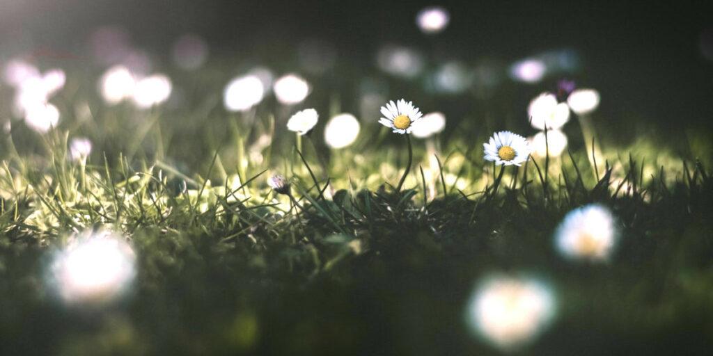 Dandelions in nature